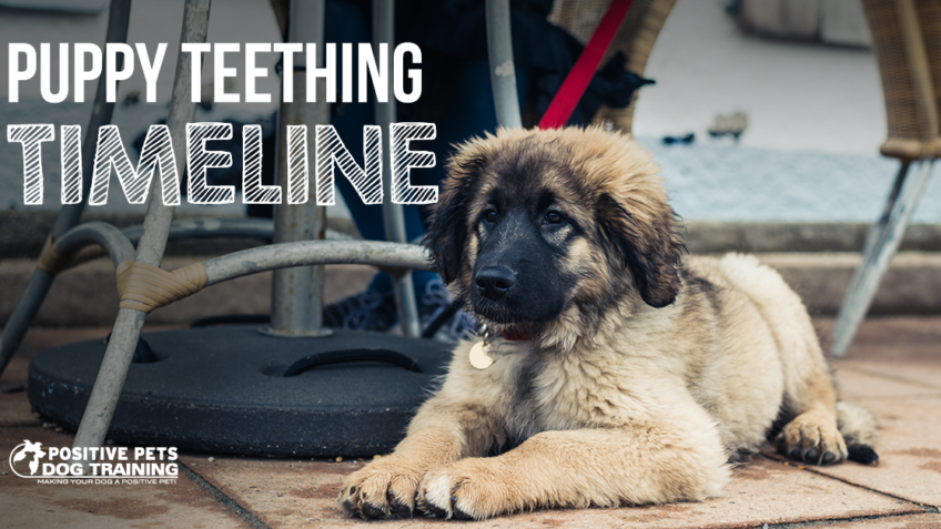 puppy teething timeline
