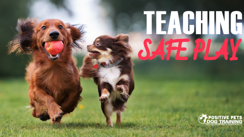 Teaching your dog how to play safely with other dogs.