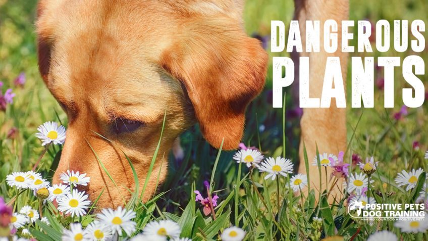 Dangerous plants for dogs.