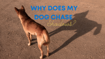 Why Does My Dog Chase Shadows?