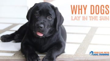 Why Dogs Lay in the Sun